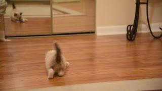Siamese kitten and Tin foil Ball