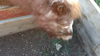 mini horse getting a treat