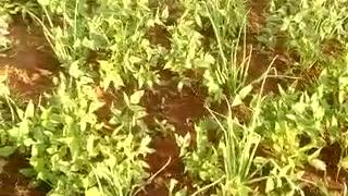 Uganda farms