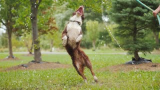 Happy border collie playing in water