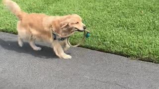 Mango the Dog Must Walk Himself