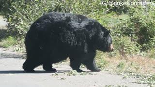 Chunky Bear Strolls Across Road