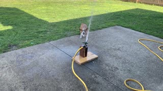 Dog Springs up Trying to Catch Sprinkler