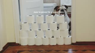 English Bulldogs jump over a pile of toilet paper for online challenge