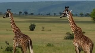 A giraffe follows her lover