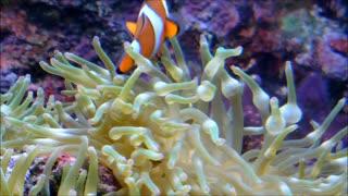 Clownfish - childhood memories