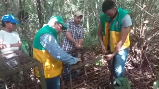 Instalaron jaulas para capturar felinos que han atacado ganados en Puerto Wilches