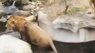 Lion falls into water