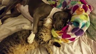 Needy Feline Cuddles With Her Canine Best Friend Enjoying Endless Wet Kisses