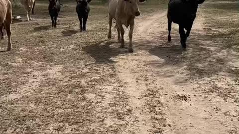 Texas Cows