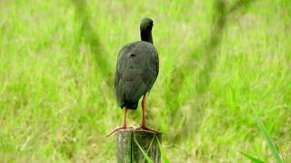 See the beautiful black ibis