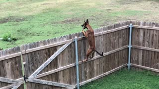 Super athletic dog climbs fence with ease