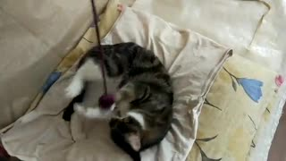 A beautiful cat plays with a string