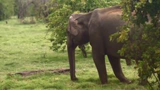 a elephant in sri lanka