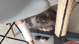 My Cats React Towards Kitten Sound Part 1