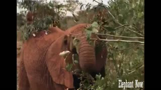Elephant eat from leaves