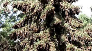 Monarch butterfly population in Mexico drops 26 percent