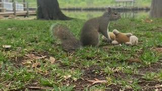 Wrestling Squirrel Body Slams Toy Opponent