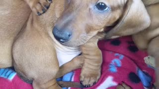 Adorable weiner dog pups