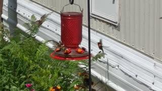 Crazy hummingbirds