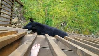 Bear Decides To Climb Balcony To Say Hello