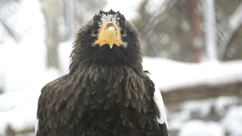 Eagle in the snow closeup - With beautiful music