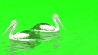 Green Screen Pelicans in River for YouTube video Creators