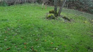 Dog Chases Deer