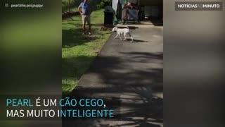 Cão cego usa o faro para encontrar sua dona