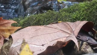 Relaxing Autumn Leaf by a Mountain Stream Scenic Up Close Sounds of Nature Beautiful Flower Calming