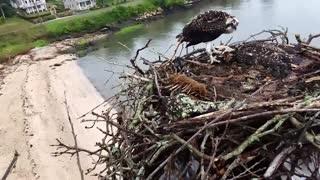 Saving an Osprey
