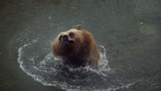 Bathing brown bear