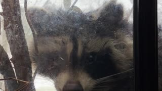 Raccoon and Woman Share Special Moment