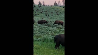 Bison Head to Head Fight for Male Domination