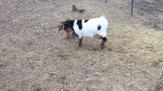 Mama goat protects her baby from guinea fowl!