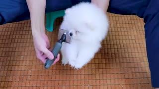 First Cute Pomeranian Puppy Bath