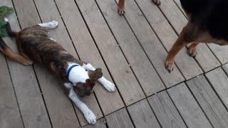 Puppy tries to eat lazer