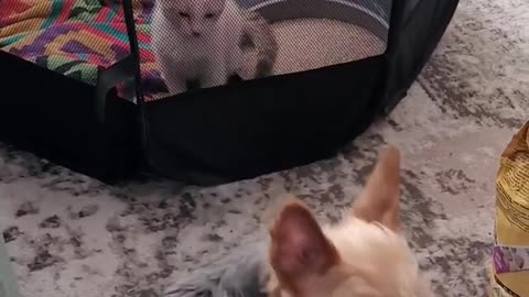 Yorkie is introduced to his new Kitten brother