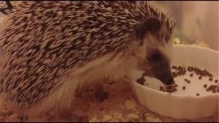 Little Hedgehog After Dinner