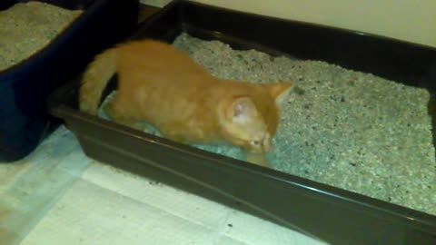 Kitten Pretends To Use The Litter Box.