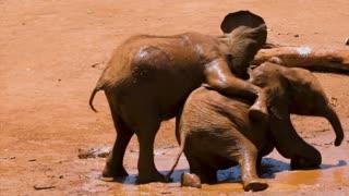 Elephants fighting.