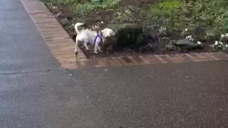 """Jack Russell Terrier Is """"Disobeying"""""""