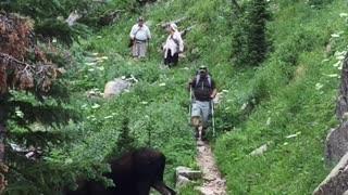 Moose Meanders Across Hiking Trail