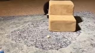 Pomeranian puppy Gigi 3