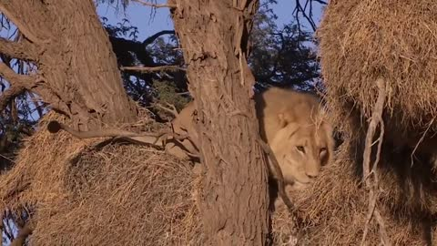 Incredible Battle for Survival - Wild Animals Fighting ! Lion vs Leopard | Leopard Attack Fail