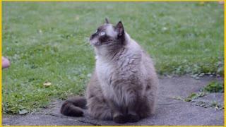 British Shorthair_Cat