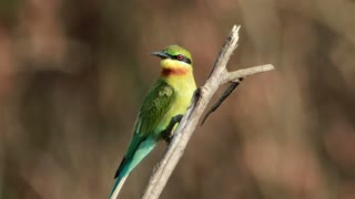 Colorful bird on a small branch - With beautiful music