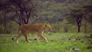 Lioness Walking Through Scrubland 02