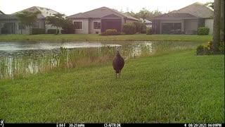 Wild Turkeys on trail cam