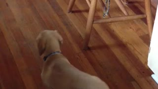 Dog chases its tail then falls